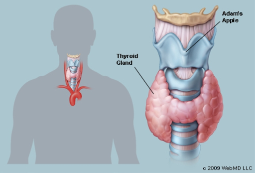 anatomy of a thyroid broken down in two photos